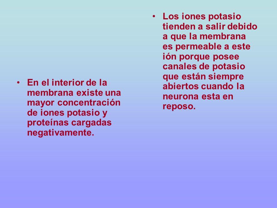 En el interior de la membrana existe una mayor concentración de iones potasio y proteínas cargadas negativamente. Los iones potasio tienden a salir de