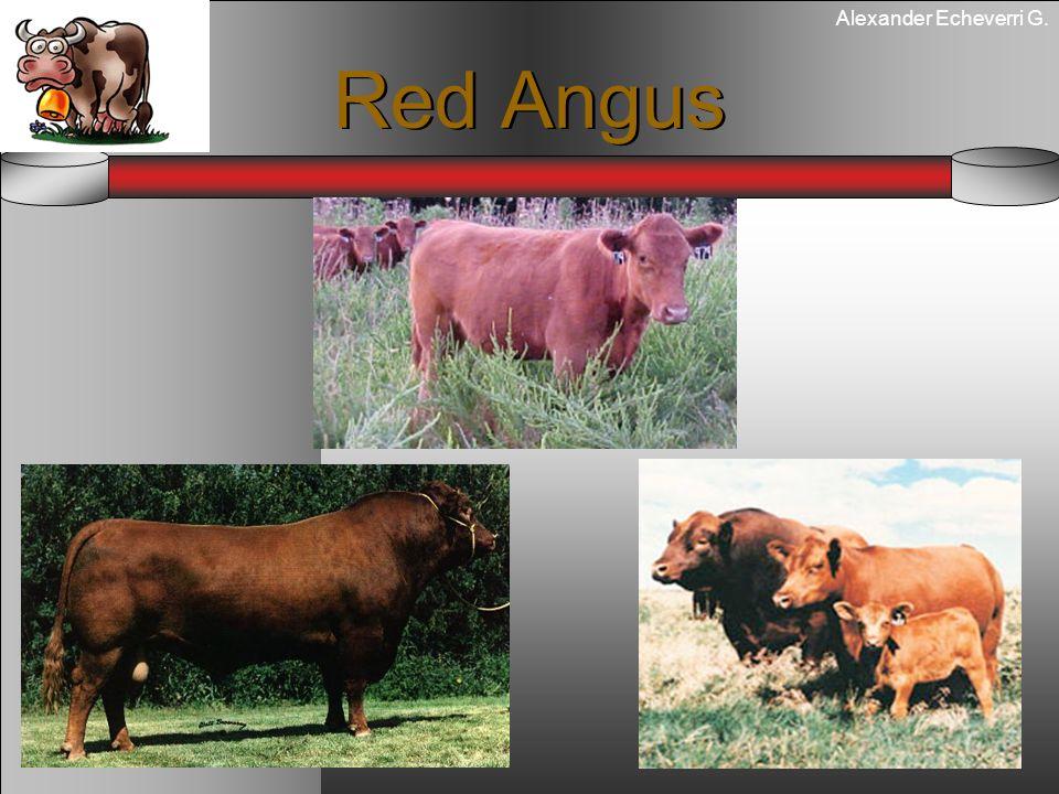 Alexander Echeverri G. Red Angus