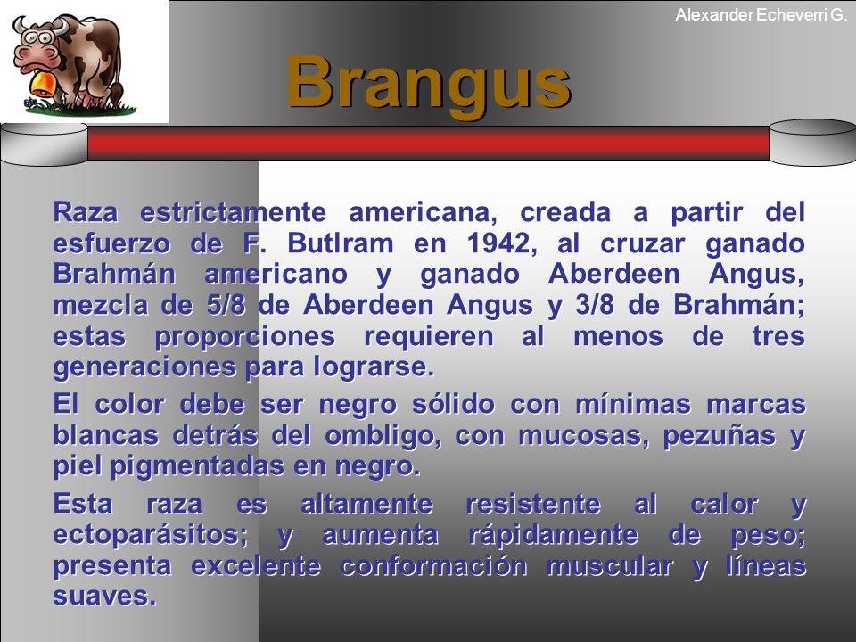 Alexander Echeverri G. Brangus Raza estrictamente americana, creada a partir del esfuerzo de F. Butlram en 1942, al cruzar ganado Brahmán americano y
