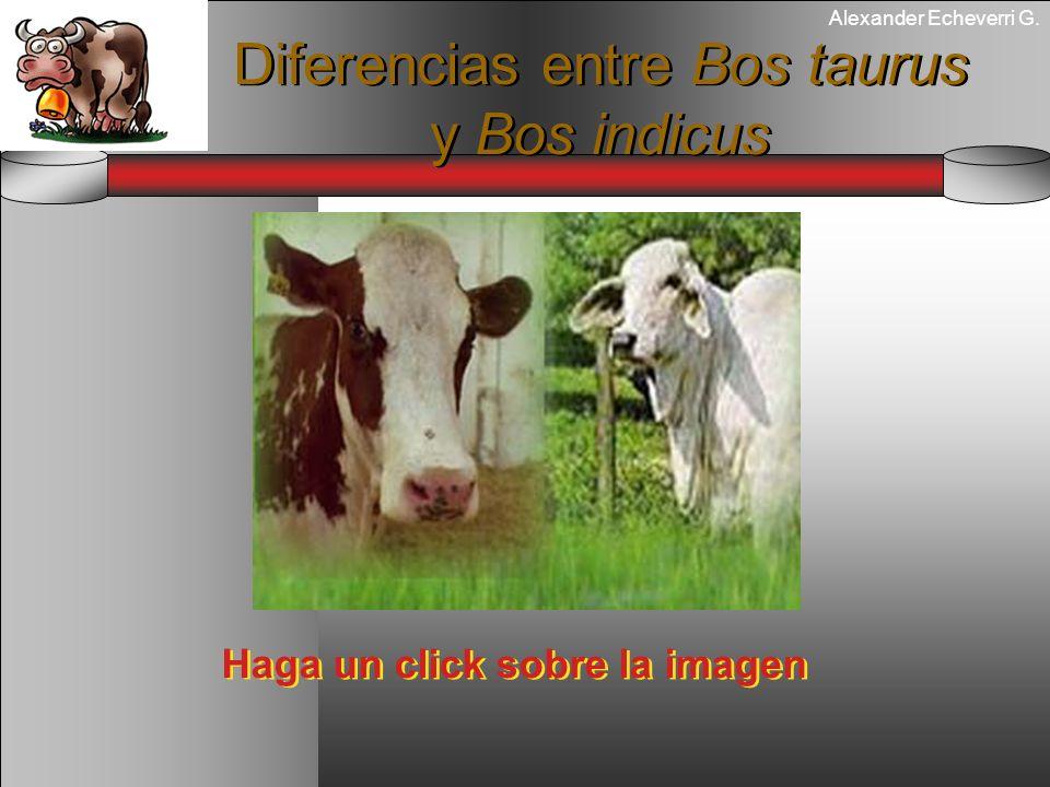 Alexander Echeverri G. Diferencias entre Bos taurus y Bos indicus Haga un click sobre la imagen