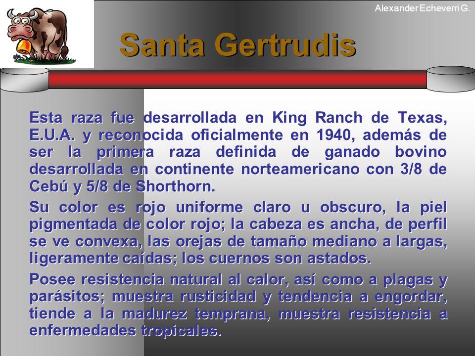 Alexander Echeverri G. Santa Gertrudis Esta raza fue desarrollada en King Ranch de Texas, E.U.A. y reconocida oficialmente en 1940, además de ser la p