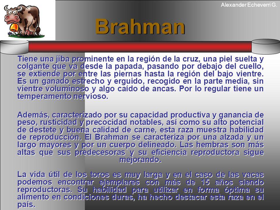 Alexander Echeverri G. Brahman Tiene una jiba prominente en la región de la cruz, una piel suelta y colgante que va desde la papada, pasando por debaj