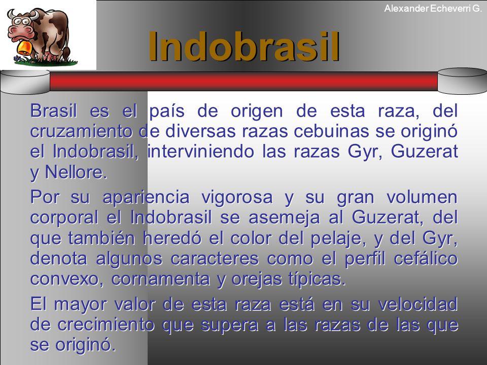 Alexander Echeverri G. Indobrasil Brasil es el país de origen de esta raza, del cruzamiento de diversas razas cebuinas se originó el Indobrasil, inter