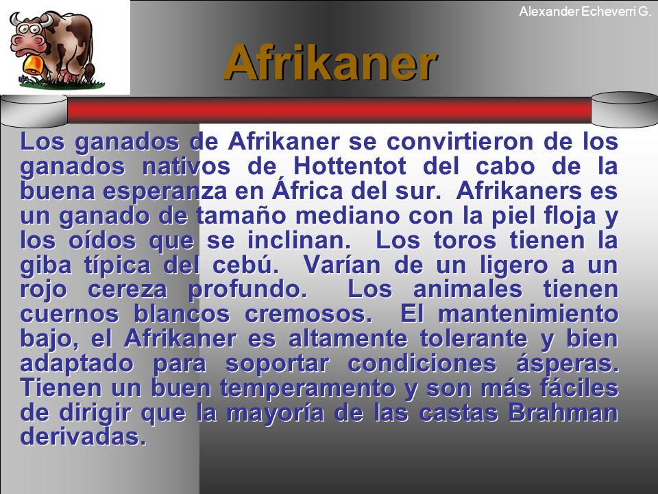 Alexander Echeverri G. Afrikaner Los ganados de Afrikaner se convirtieron de los ganados nativos de Hottentot del cabo de la buena esperanza en África