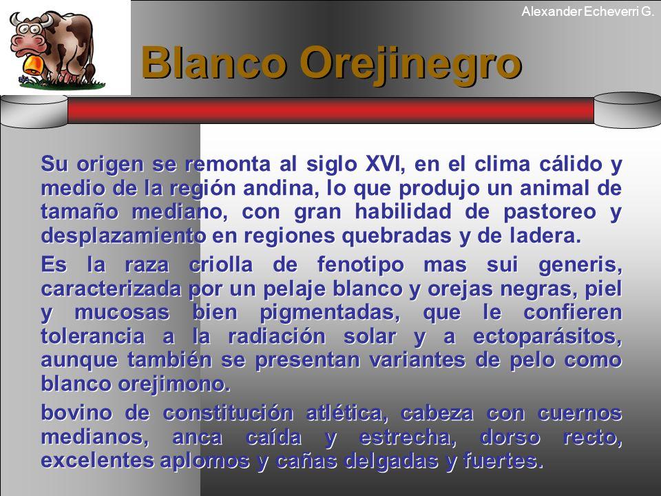Alexander Echeverri G. Blanco Orejinegro Su origen se remonta al siglo XVI, en el clima cálido y medio de la región andina, lo que produjo un animal d
