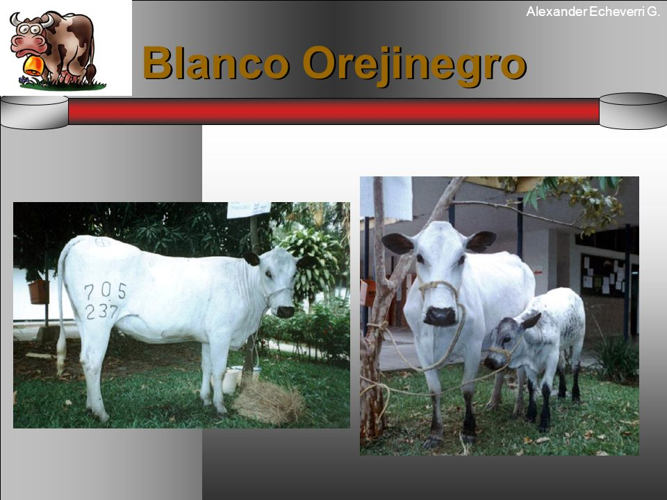 Alexander Echeverri G. Blanco Orejinegro