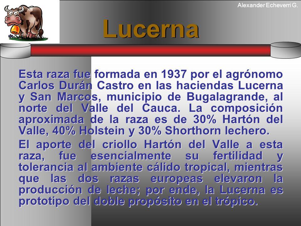 Alexander Echeverri G. Lucerna Esta raza fue formada en 1937 por el agrónomo Carlos Durán Castro en las haciendas Lucerna y San Marcos, municipio de B