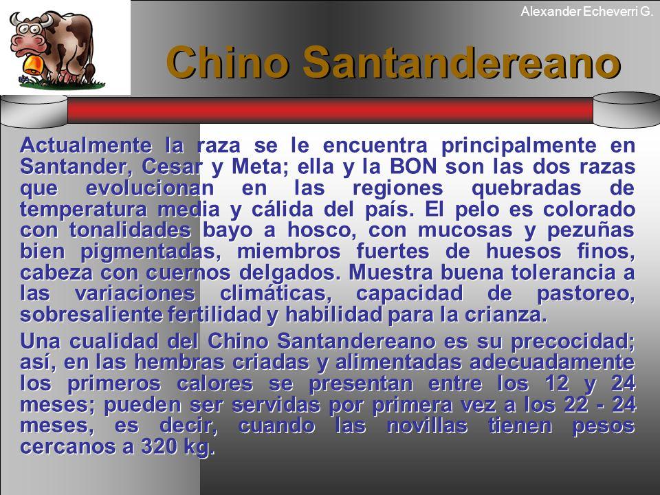 Alexander Echeverri G. Chino Santandereano Actualmente la raza se le encuentra principalmente en Santander, Cesar y Meta; ella y la BON son las dos ra
