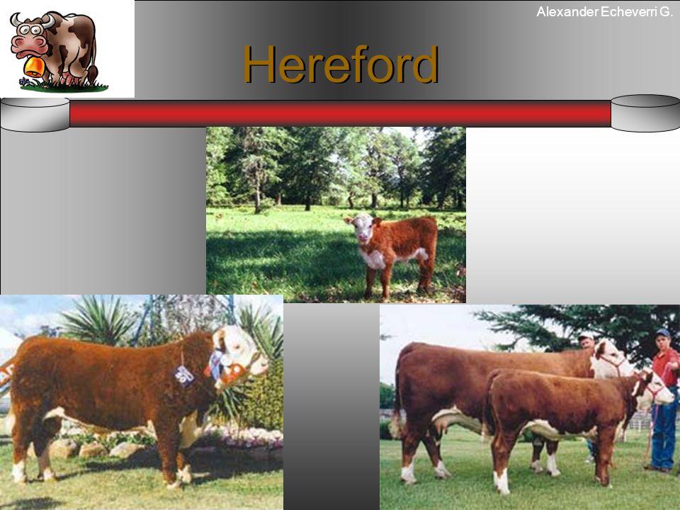 Alexander Echeverri G. Hereford