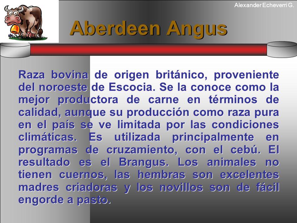 Alexander Echeverri G. Aberdeen Angus Raza bovina de origen británico, proveniente del noroeste de Escocia. Se la conoce como la mejor productora de c