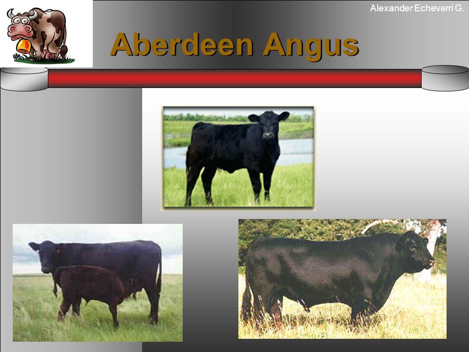Alexander Echeverri G. Aberdeen Angus