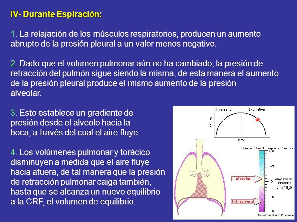 IV- Durante Espiración: 1. La relajación de los músculos respiratorios, producen un aumento abrupto de la presión pleural a un valor menos negativo. 2