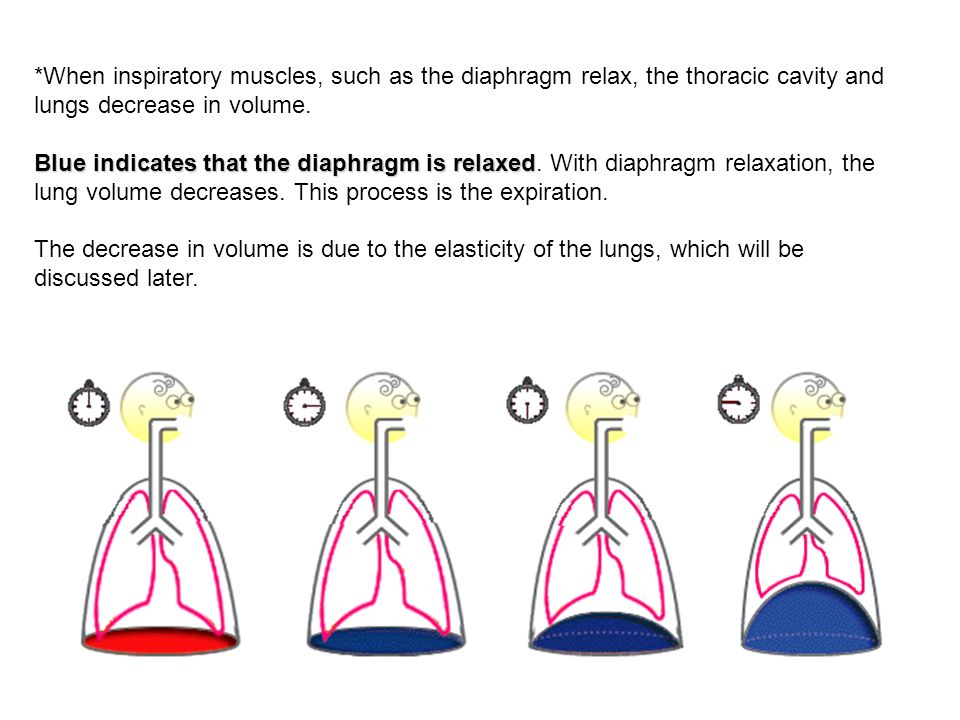 *When inspiratory muscles, such as the diaphragm relax, the thoracic cavity and lungs decrease in volume. Blue indicates that the diaphragm is relaxed