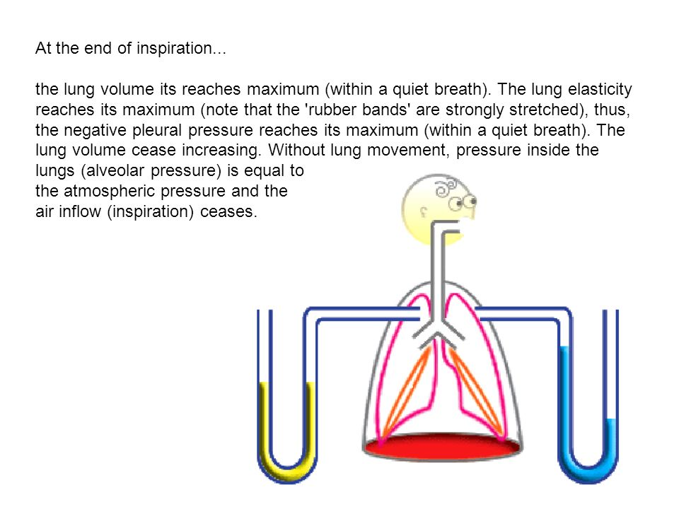 At the end of inspiration... the lung volume its reaches maximum (within a quiet breath). The lung elasticity reaches its maximum (note that the 'rubb