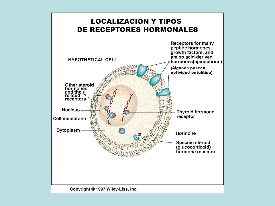 LOCALIZACION Y TIPOS DE RECEPTORES HORMONALES (Algunos poseen actividad catalítica)