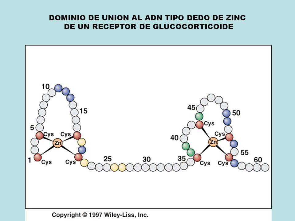 DOMINIO DE UNION AL ADN TIPO DEDO DE ZINC DE UN RECEPTOR DE GLUCOCORTICOIDE