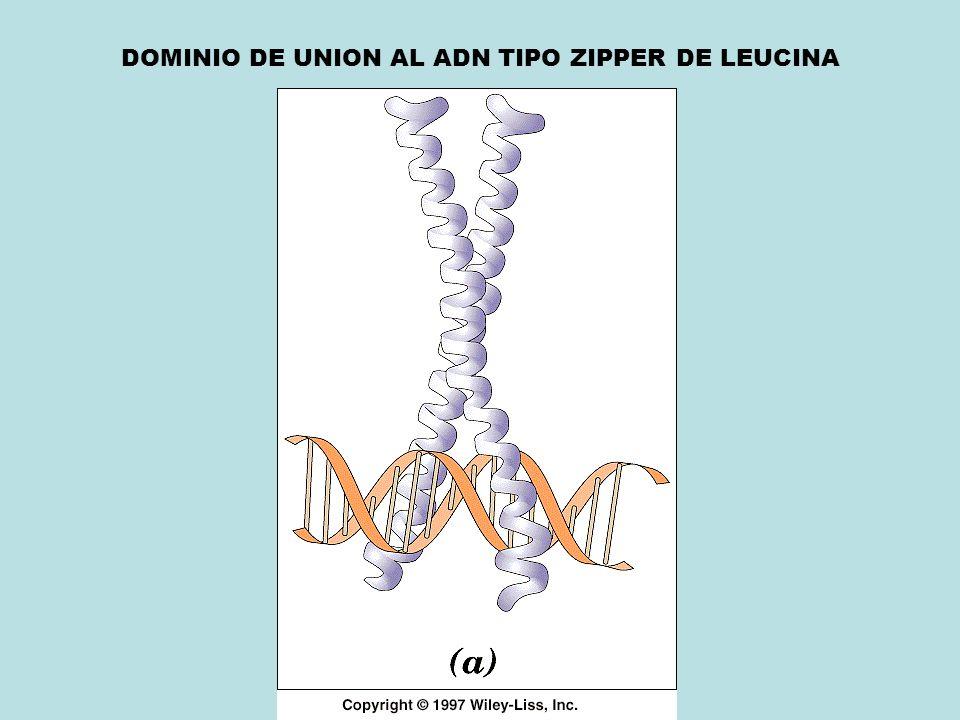 DOMINIO DE UNION AL ADN TIPO ZIPPER DE LEUCINA