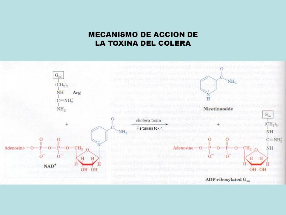 Pertussis toxin MECANISMO DE ACCION DE LA TOXINA DEL COLERA