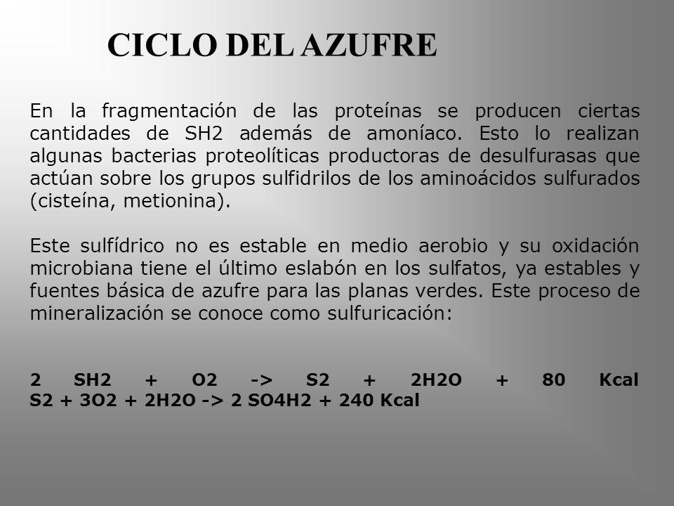 CICLO DEL AZUFRE En la fragmentación de las proteínas se producen ciertas cantidades de SH2 además de amoníaco.