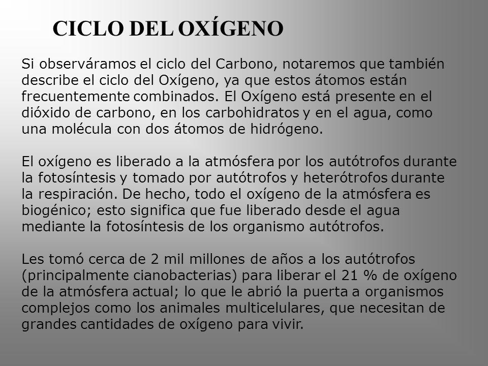 CICLO DEL OXÍGENO Si observáramos el ciclo del Carbono, notaremos que también describe el ciclo del Oxígeno, ya que estos átomos están frecuentemente combinados.
