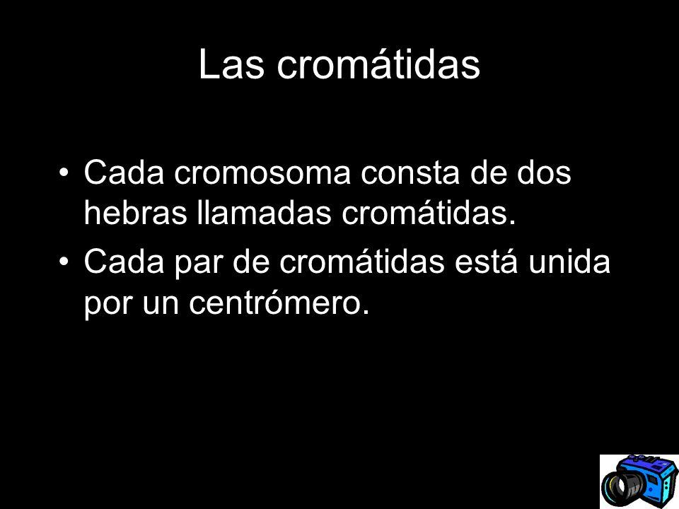 Las cromátidas Cada cromosoma consta de dos hebras llamadas cromátidas. Cada par de cromátidas está unida por un centrómero.