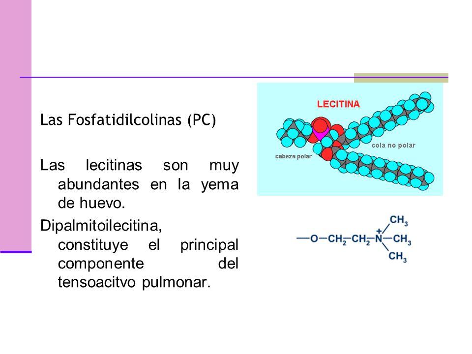 Las Fosfatidilcolinas (PC) Las lecitinas son muy abundantes en la yema de huevo.