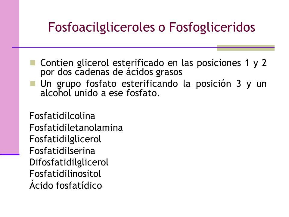 Fosfoacilgliceroles o Fosfogliceridos Contien glicerol esterificado en las posiciones 1 y 2 por dos cadenas de ácidos grasos Un grupo fosfato esterificando la posición 3 y un alcohol unido a ese fosfato.