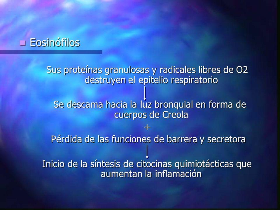 Eosinófilos Eosinófilos Sus proteínas granulosas y radicales libres de O2 destruyen el epitelio respiratorio Se descama hacia la luz bronquial en forma de cuerpos de Creola Se descama hacia la luz bronquial en forma de cuerpos de Creola+ Pérdida de las funciones de barrera y secretora Pérdida de las funciones de barrera y secretora Inicio de la síntesis de citocinas quimiotácticas que aumentan la inflamación