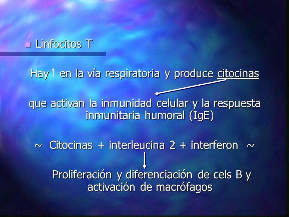 Linfocitos T Linfocitos T Hay en la vía respiratoria y produce citocinas que activan la inmunidad celular y la respuesta inmunitaria humoral (IgE) ~ Citocinas + interleucina 2 + interferon ~ Proliferación y diferenciación de cels B y activación de macrófagos Proliferación y diferenciación de cels B y activación de macrófagos