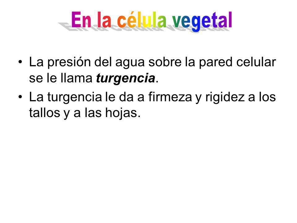 La presión del agua sobre la pared celular se le llama turgencia.