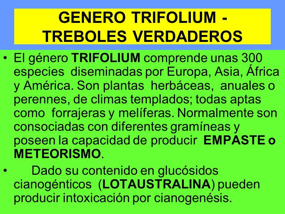 GENERO TRIFOLIUM - TREBOLES VERDADEROS El género TRIFOLIUM comprende unas 300 especies diseminadas por Europa, Asia, África y América. Son plantas her