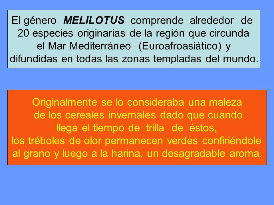 El género MELILOTUS comprende alrededor de 20 especies originarias de la región que circunda el Mar Mediterráneo (Euroafroasiático) y difundidas en to