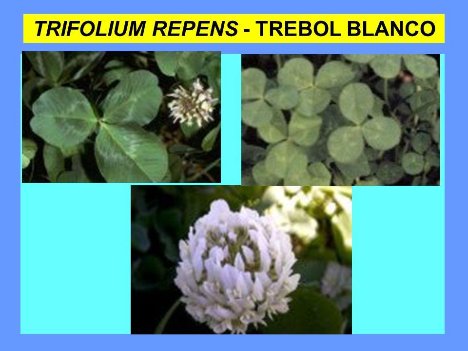 TRIFOLIUM REPENS - TREBOL BLANCO