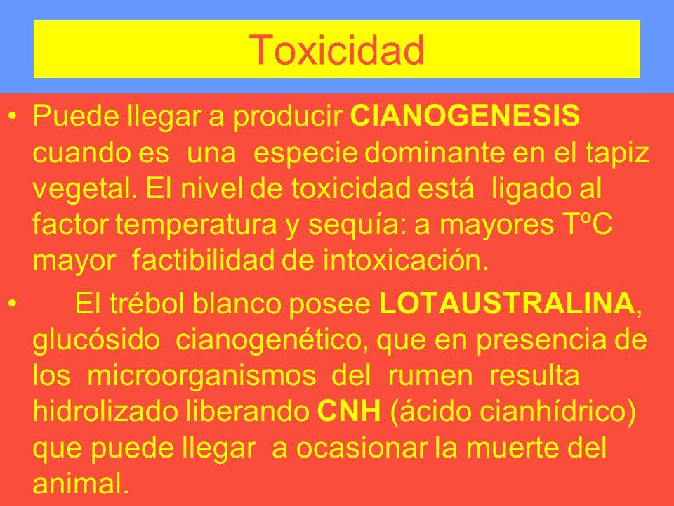 Toxicidad Puede llegar a producir CIANOGENESIS cuando es una especie dominante en el tapiz vegetal. El nivel de toxicidad está ligado al factor temper