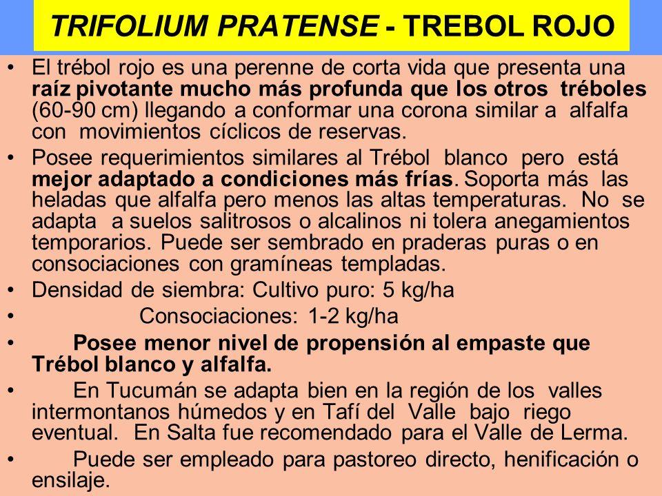 TRIFOLIUM PRATENSE - TREBOL ROJO El trébol rojo es una perenne de corta vida que presenta una raíz pivotante mucho más profunda que los otros tréboles