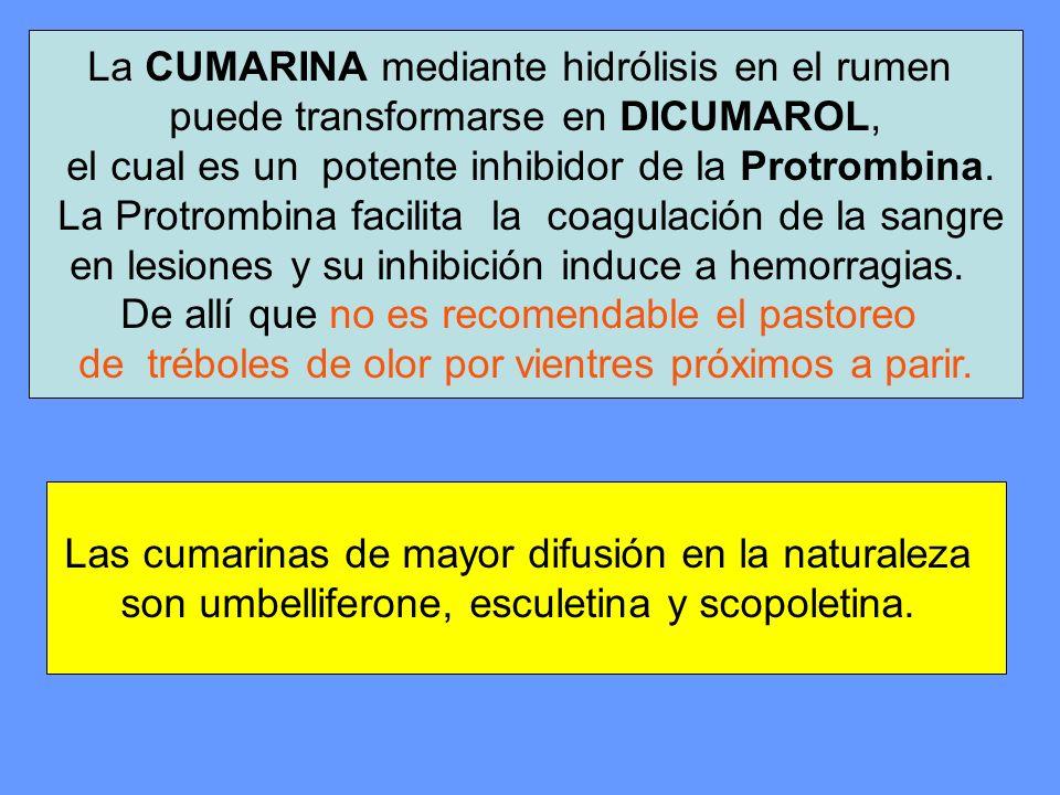 La CUMARINA mediante hidrólisis en el rumen puede transformarse en DICUMAROL, el cual es un potente inhibidor de la Protrombina. La Protrombina facili