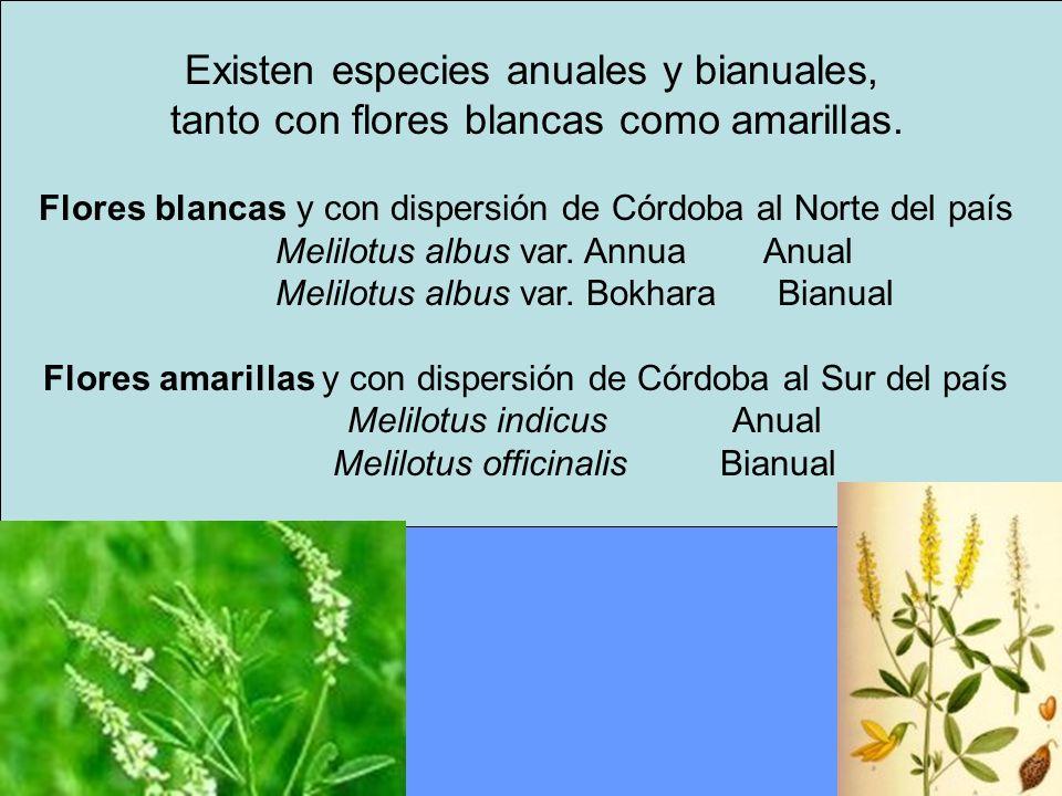 Existen especies anuales y bianuales, tanto con flores blancas como amarillas. Flores blancas y con dispersión de Córdoba al Norte del país Melilotus