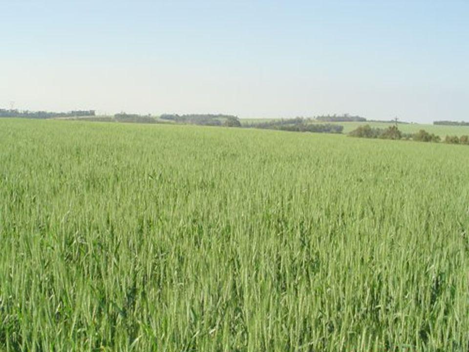 PRINCIPALES DESTINOS DEL GRANO El grano de Trigo se utiliza para el Consumo Interno y la Exportación.