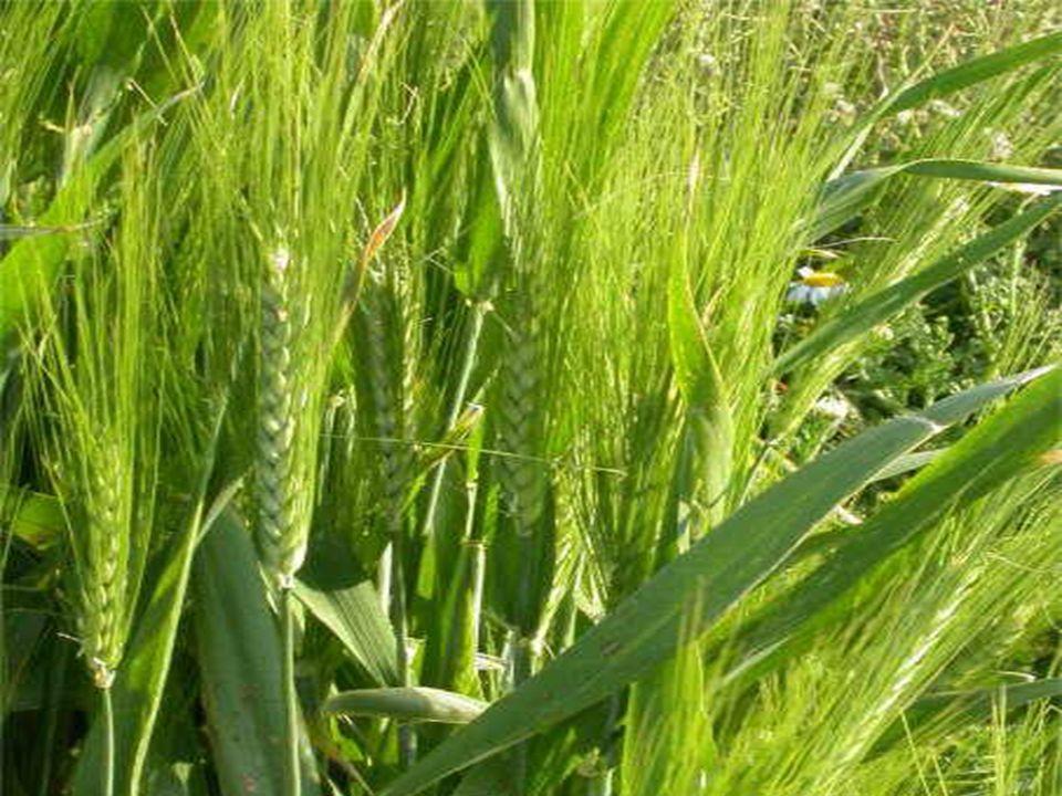 BREVES CONCEPTOS DE LA TÉCNICA DEL CULTIVO La evolución del cultivo en el NOA en los últimos 10 años, ha sido muy importante.