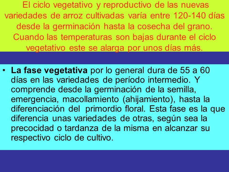 La fase reproductiva, incluye el período desde la formación del primordio floral, embuchamiento (14-7 días antes de la emergencia de la panícula), hasta la emergencia de la panícula (floración).