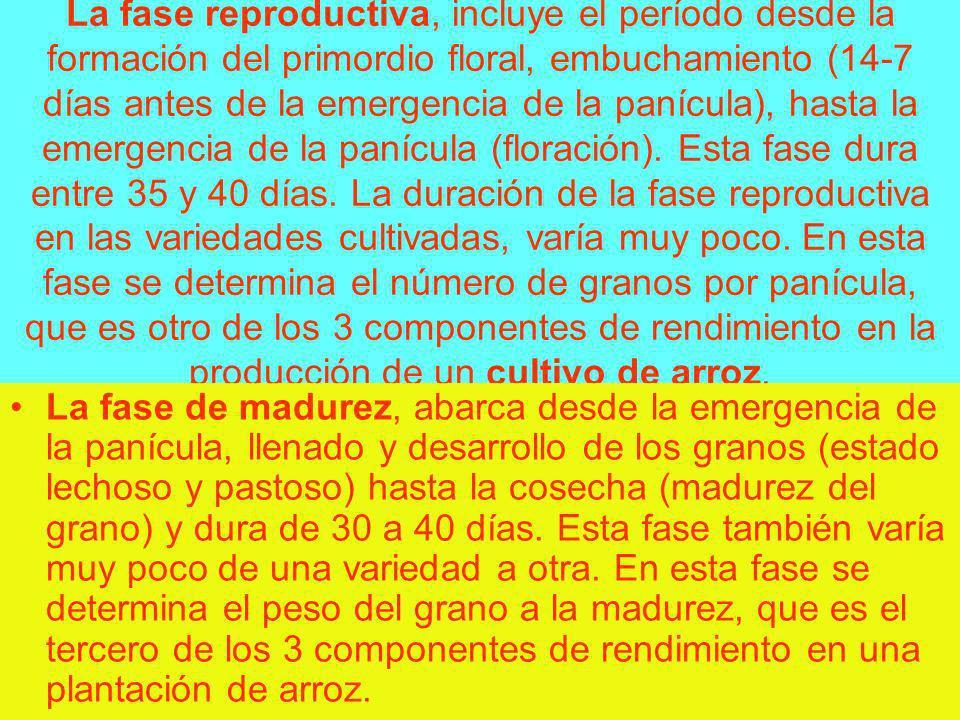 La fase reproductiva, incluye el período desde la formación del primordio floral, embuchamiento (14-7 días antes de la emergencia de la panícula), has