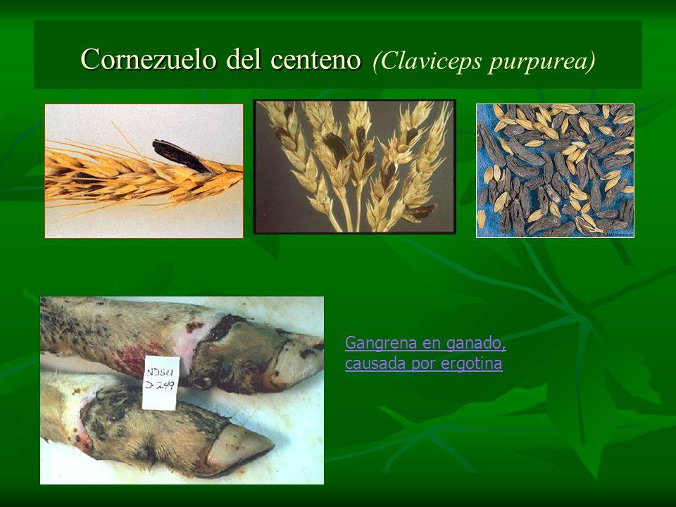Cornezuelo del centeno Cornezuelo del centeno (Claviceps purpurea) Gangrena en ganado, causada por ergotina