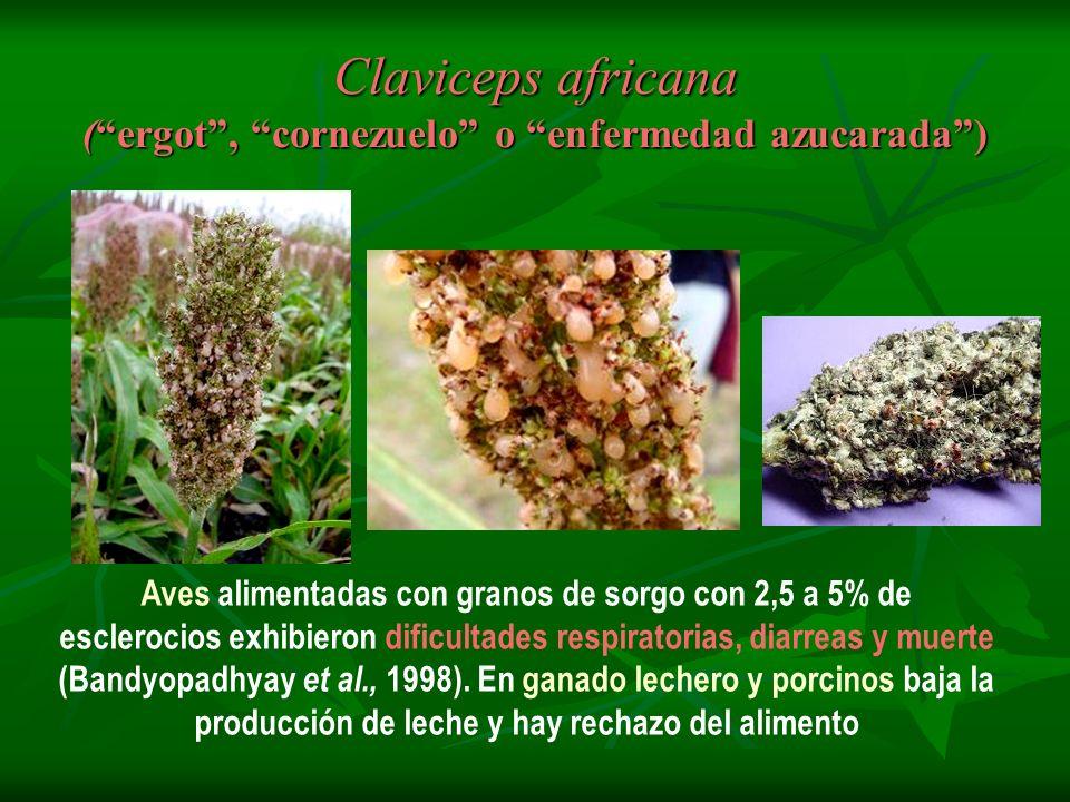 Claviceps africana (ergot, cornezuelo o enfermedad azucarada) Aves alimentadas con granos de sorgo con 2,5 a 5% de esclerocios exhibieron dificultades
