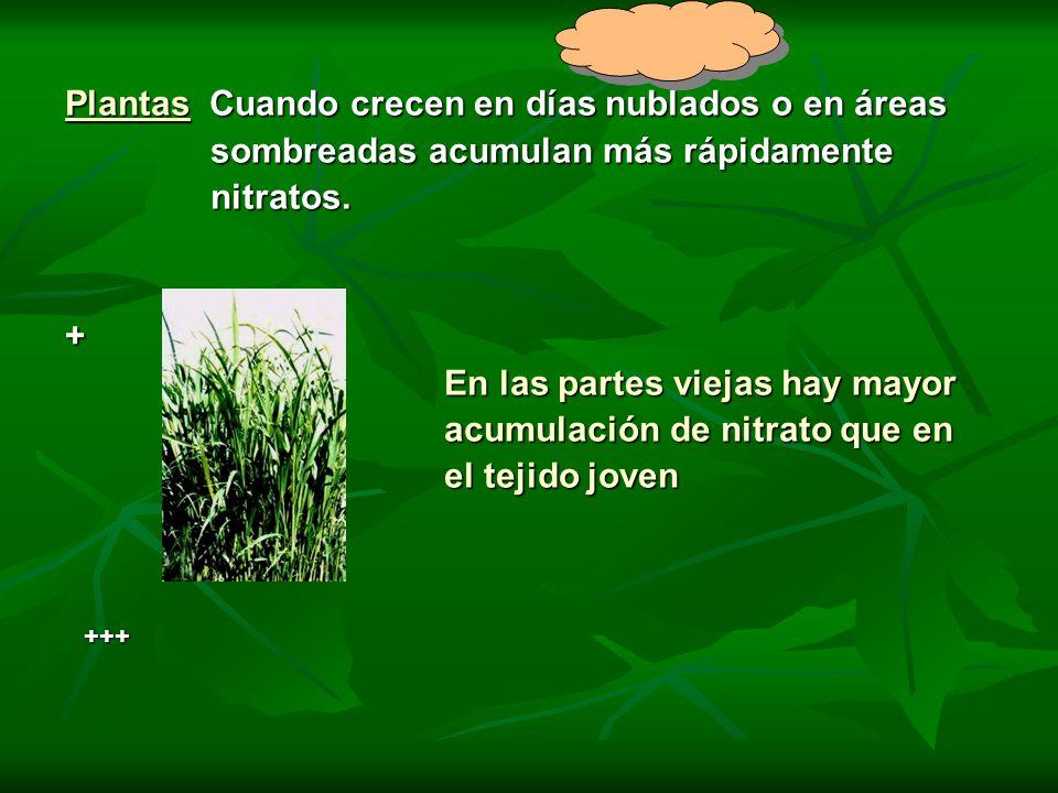 Plantas Cuando crecen en días nublados o en áreas sombreadas acumulan más rápidamente sombreadas acumulan más rápidamente nitratos. nitratos.+ En las