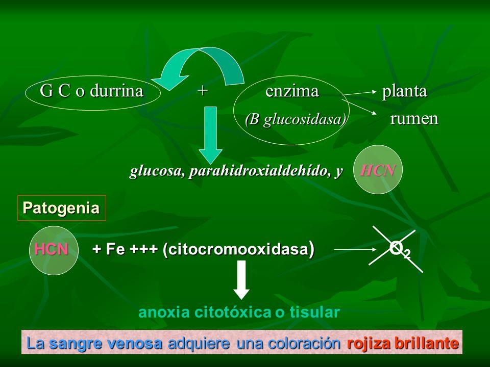 G C o durrina + enzima planta (B glucosidasa) rumen (B glucosidasa) rumen glucosa, parahidroxialdehído, y HCN HCN + Fe +++ (citocromooxidasa ) anoxia