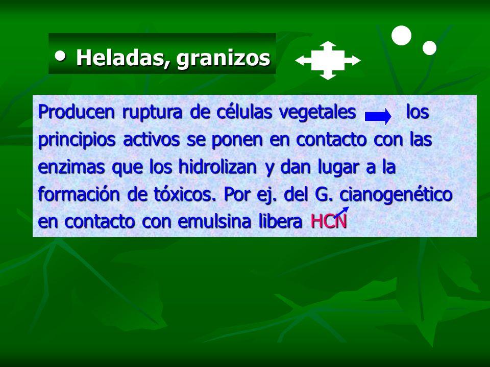 Heladas, granizos Heladas, granizos Producen ruptura de células vegetales los principios activos se ponen en contacto con las enzimas que los hidroliz