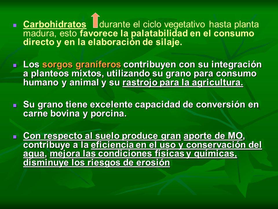 Carbohidratos durante el ciclo vegetativo hasta planta madura, esto favorece la palatabilidad en el consumo directo y en la elaboración de silaje. Los