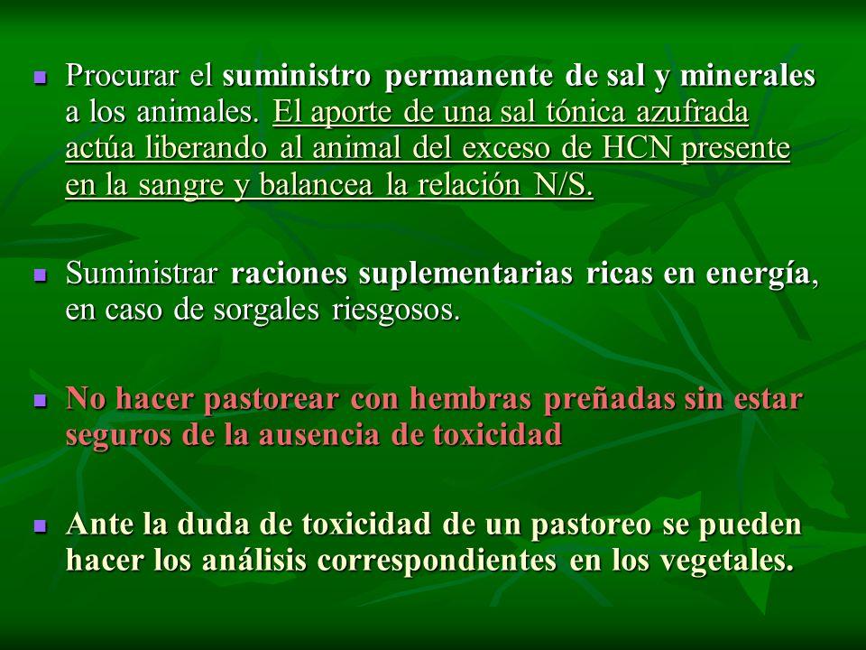 Procurar el suministro permanente de sal y minerales a los animales. El aporte de una sal tónica azufrada actúa liberando al animal del exceso de HCN