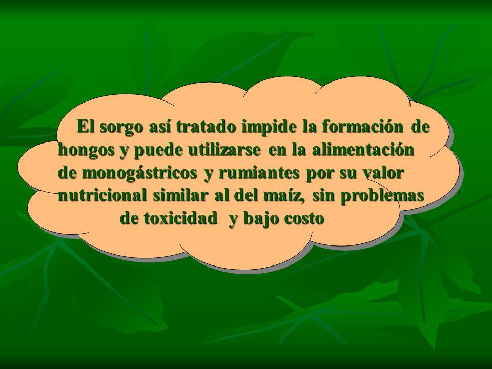 El sorgo así tratado impide la formación de hongos y puede utilizarse en la alimentación de monogástricos y rumiantes por su valor nutricional similar