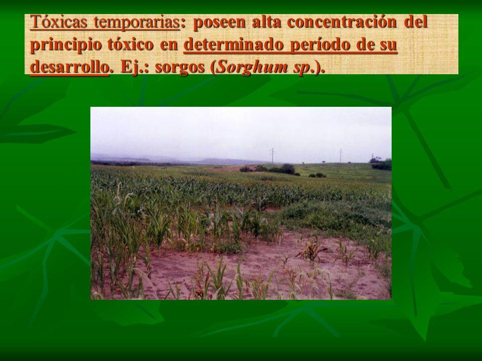 Tóxicas temporarias: poseen alta concentración del principio tóxico en determinado período de su desarrollo. Ej.: sorgos (Sorghum sp.).